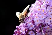 Fly on a lilac bloom — Stock Photo