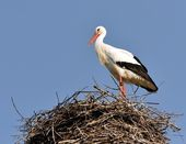 Stork in the nest II — Stock Photo