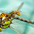 Wasps eating a dragonfly — Stock Photo
