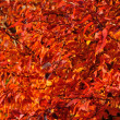 Red autumn leaves II — Stock Photo