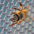 Stock Photo: Honey bee on net