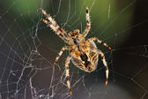 Garden spider repairs its web — Stock Photo