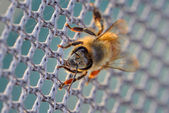 Honey bee on the net — Stock Photo
