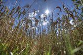 Wheatfield — Stock Photo
