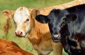 Calves — Stock Photo