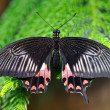 Black and red butterfly — Stock Photo