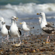 Black-backed gulls on the beach — Zdjęcie stockowe