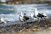 Black-backed gulls on the beach — Stock Photo