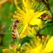 Hoverfly macro — Stock Photo