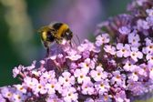 Bumblebee on Lilac — Stock Photo