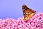 Painted Lady on Lilac flower — Stock Photo