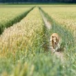 Collie in wheat field — Stock Photo