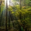 Stock Photo: Sun rays in forest