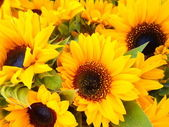 Sunflower — Fotografia Stock