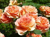 Belles roses — Photo