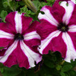 Petunias - Stock Photo