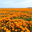 California Poppy - Stock Photo