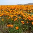 Stock Photo: CaliforniWildflowers
