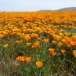 california wildflowers — Stock Photo