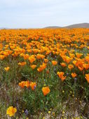 California Wildflowers — Stockfoto