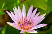 Bees on pink lotus — Stock fotografie