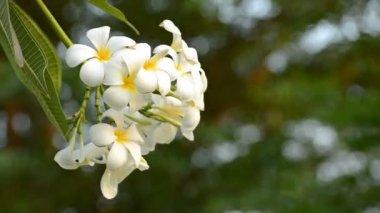 White frangipani — Stock Video