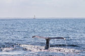 Whale diving down the water — Stock Photo