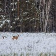 Roe deer graze in the snow - Stock Photo