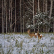 Roe deer graze in the snow — ストック写真