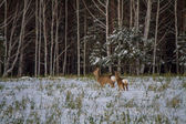 Roe deer graze in the snow — Stok fotoğraf