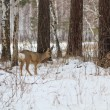 Photo hunting for deer (Capreolus). Winter forest. — Zdjęcie stockowe
