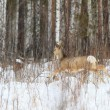 Photo hunting for deer (Capreolus). Winter forest. - Stockfoto