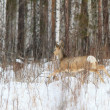 Photo hunting for deer (Capreolus). Winter forest. - Foto de Stock