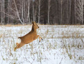 Photo hunting for deer (Capreolus). Winter forest. — Stock Photo