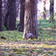 Squirrel in the park — Stock Video #37104041