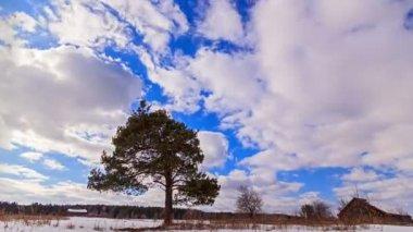Pine tree over sky — Stock Video