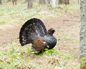 Large grouse in the woods — Stock Photo