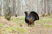 On the path worth wood grouse — Stock Photo