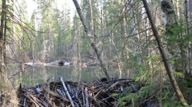 Beavers flooded the creek — Stock Video