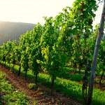 Vineyard sunset — Stock Photo #13229950