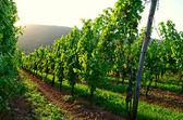 Atardecer viñedo — Foto de Stock