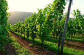 Vineyard sunset — Foto de Stock