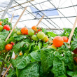 Tomato plants in greenhouse — Stock Photo