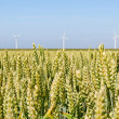 Stock Photo: Field of grain with windmills