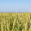 Stockfoto: Field of grain with windmills