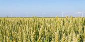 Campo di grano con mulini a vento — Foto Stock