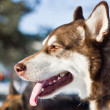 Stock Photo: Malamute