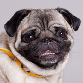 Pug on the white background — Stock Photo