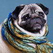 Pug in the scarf — Stock Photo