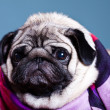 Pug in the scarf — Foto de Stock